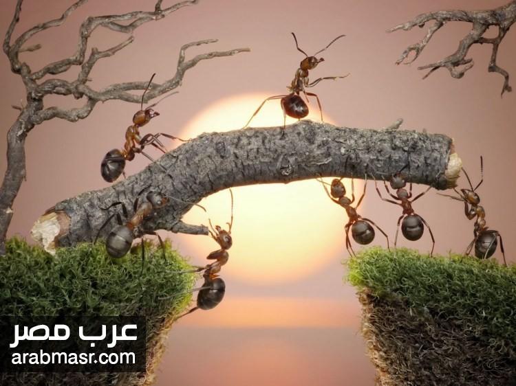 andrey pavlov ant tales bridge - لغة النمل وهو يتكلم كما اثبت العلماء فهل النمل يتكلم ؟ شاهد بالصور والتفاصيل